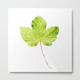 leafes maple ( autumn) Metal Print