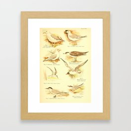 William Playne Pycraft - A Book of Birds (1908) - Plate 16: Gulls and Terns Framed Art Print