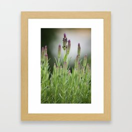 lavendula - II Framed Art Print