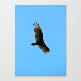 A Turkey Vulture In Tobermory Canvas Print
