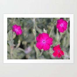 Vibrant Silene Coronaria Art Print