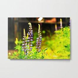 Purple Lupin Metal Print