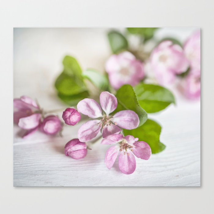delicate pink Apple Blossom close up Canvas Print