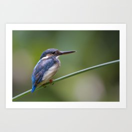 Juvenile Common Kingfisher ( Alcedo atthis ) Art Print
