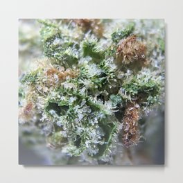 Lemon Girl Scout Cookies Strain Metal Print