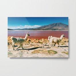 Bolivian Llamas Metal Print