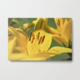 Asiatic Lily 11 Metal Print
