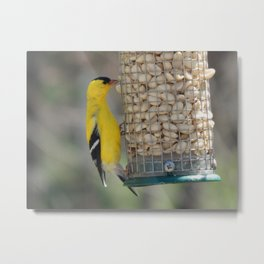 Goldfinch stretch Metal Print