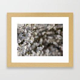 Wild Cherry Blossom Tree in Spring  Framed Art Print