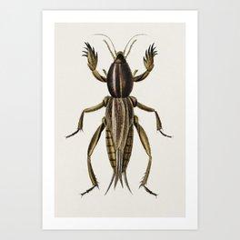 Australian Crickets (Gryllotalpa mitidula) illustrated by Charles Dessalines D' Orbigny (1806-1876) Art Print
