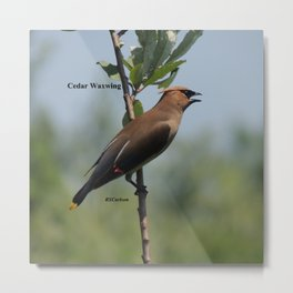 Cedar Waxwing at Hillsboro Pond Metal Print
