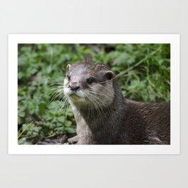 Asian short clawed otter Art Print