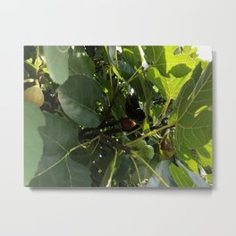 Monarch Butterfly In A Fig Tree Metal Print
