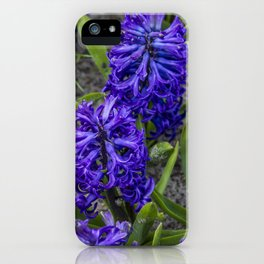 Close-up of Beautiful, Deep Purple Hyacinths in Amsterdam, Netherlands iPhone Case