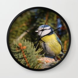 Blue tit resting on a branch conifer Wall Clock