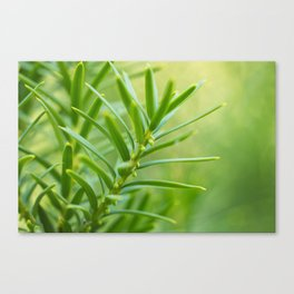 Yew foliage Canvas Print