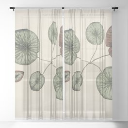 Vintage front piece of a young gigantic water lily (Victoria Regia) Sheer Curtain