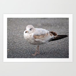 Ring Billed Gull Art Print