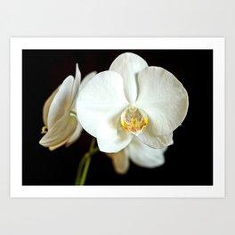 White Phalaenopsis Moth  Orchid Art Print