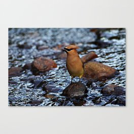 Cedar Waxwing on Rock Canvas Print
