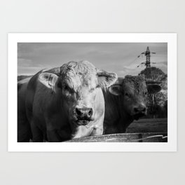 """French Cows Go """"Moo"""" Too! Art Print"""