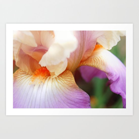 Purple Bearded Iris  Art Print