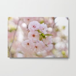 Cherry Blossoms 4 Metal Print