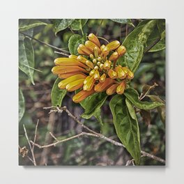 Beautiful buds of orange trumpet flower Metal Print