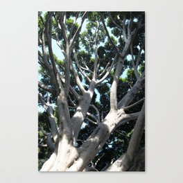 Old Fig Tree Canvas Print
