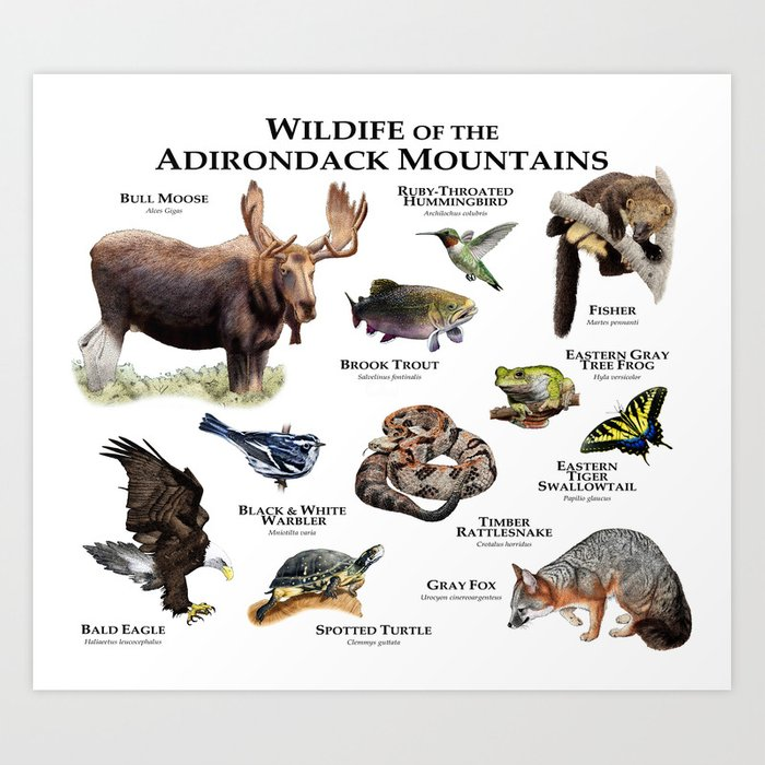 Animals of the Adirondacks Art Print
