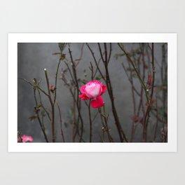 Bi-color rose Art Print