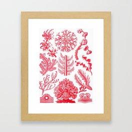 Ernst Haeckel Florideae Red Algae Framed Art Print