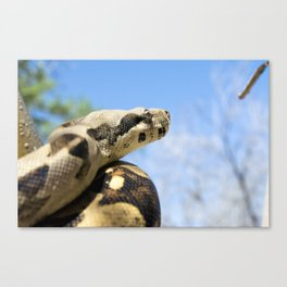 Constrictor in tree Canvas Print