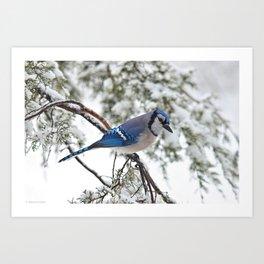 Beautiful Blue Jay Art Print