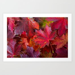 Red fall Maple Leaves Art Print
