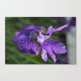 Iris so pretty Canvas Print