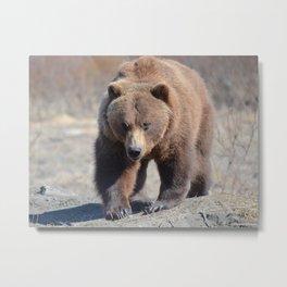 Alaskan Grizzly Bear - Spring Metal Print