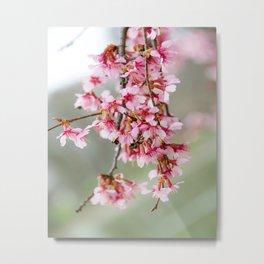 Cherry Blossom-7 Metal Print