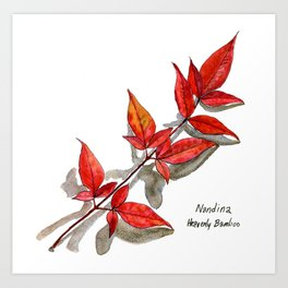 Nandina - Heavenly Bamboo Art Print