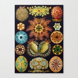 Ernst Haeckel Sea Squirts Ascidiae Canvas Print