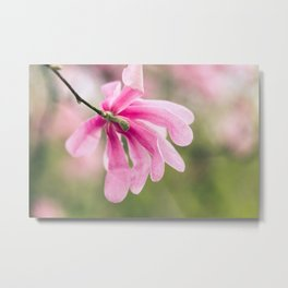 The Magnolia Bloomed Yesterday Metal Print
