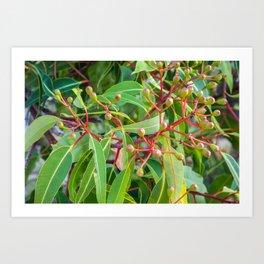 Flowering Gum 0. The Bud Cluster. Australia. Art Print