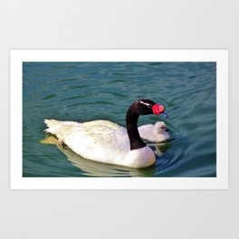 Black-Necked Swan With Baby Art Print