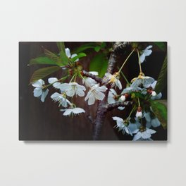 The beauty of Cherry flowers Metal Print