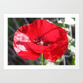 Single Red Poppy Flower  Art Print