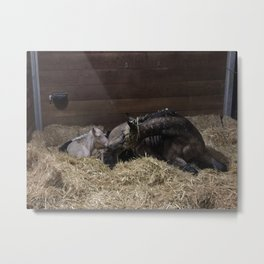The birth of a perlino Rocky Mountain Horse Metal Print
