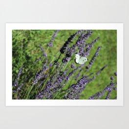 Lavender in Bloom Art Print