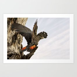 Female Red-tailed Black-cockatoo Art Print