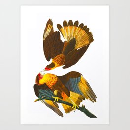 Caracara Eagle Illustration Art Print