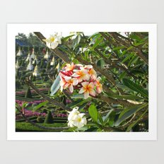 rosa Frangipane Art Print
